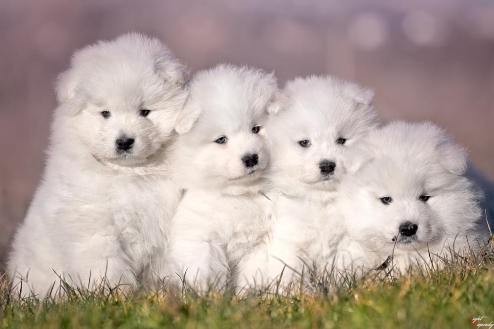 cuccioli di Samoiedo e1526575379733 Home